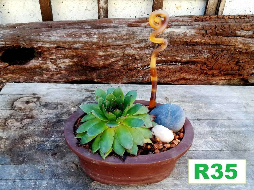 Stunning choice of potted plants for sale . Pg 4. Bloubergsands