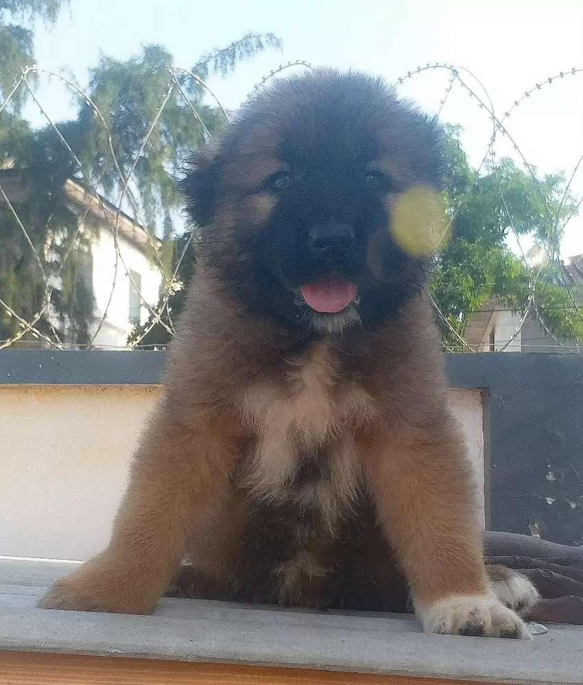 Causian Ovcharka (Russian Shepherd) puppy 0