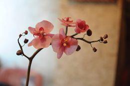 Орхидея в коробке с вазой (на подарок) не надо думать что подарить