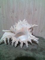 раковина мурекс рамосус