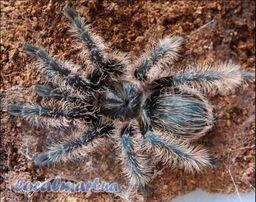 Продам паука-птицееда Brachypelma albopilosum