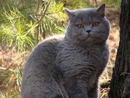 Шотландский прямоухий кот на вязку