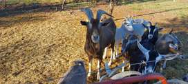 Toggenburg goat rams for sale