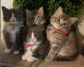 Main Coon Kittens For Adoption.  R3500