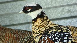 Королевский фазан в наличии!!!