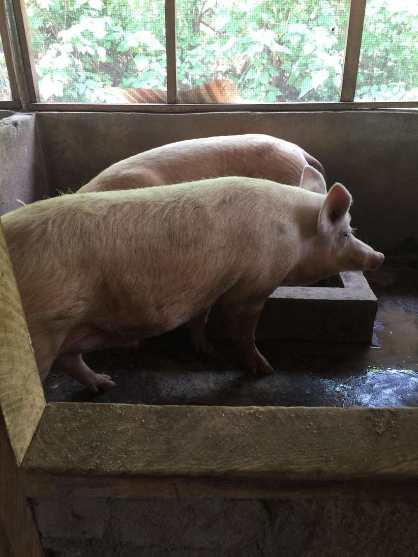 Pigs For Sale At Affordable Prices 0