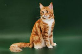 Вязка кота породы Мейн-кун