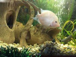 Фламинго - красивая, редкая, социально активная аквариумная рыбка