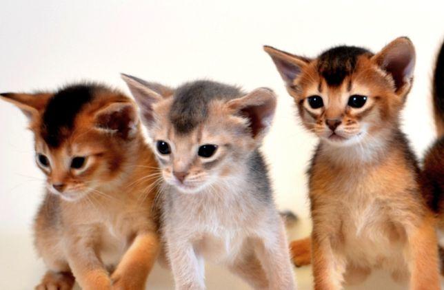 Абиссинские котята - море позитива . Киев - изображение 8
