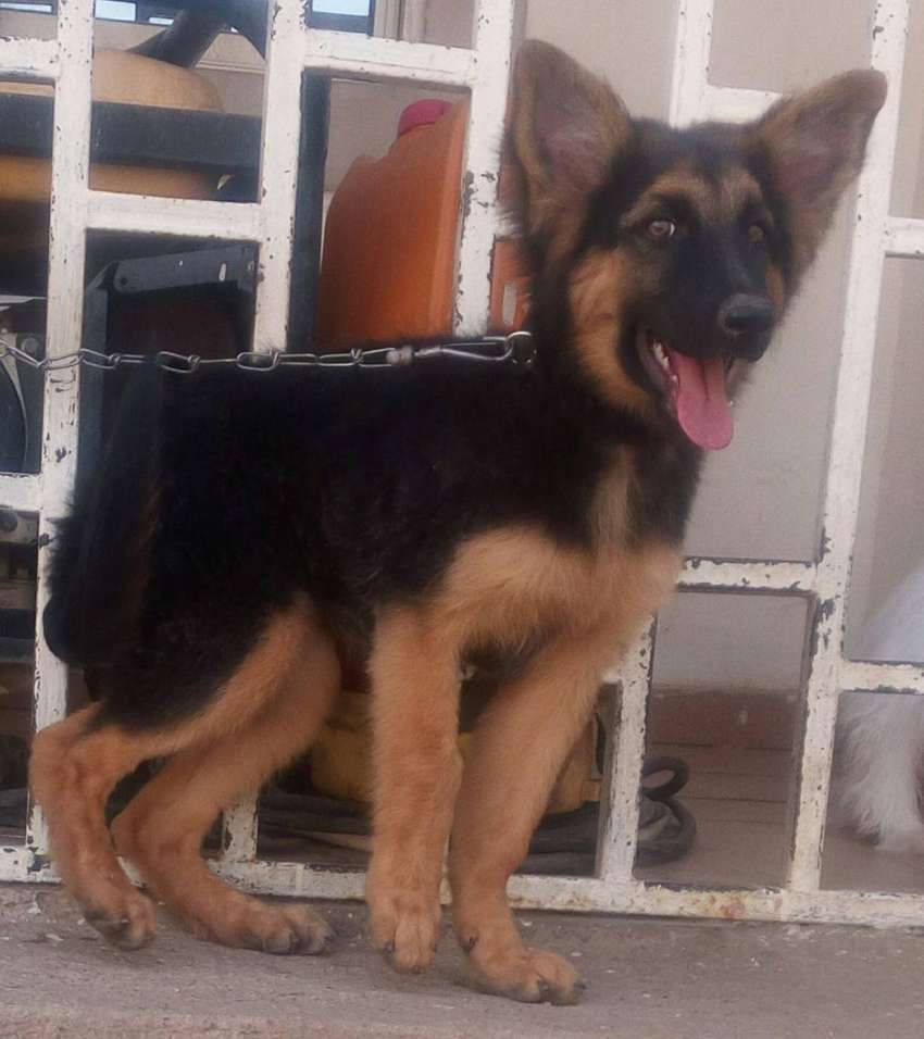3 months old slant back and long coat German Shepherd Puppy 0