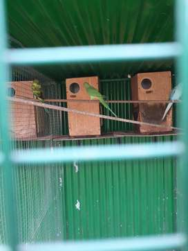 Ringnecks for sale