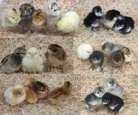 Mixed breed day old chicks