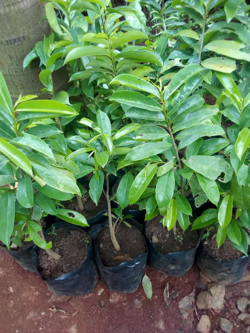Graviola soursop Fruit seedlings 0
