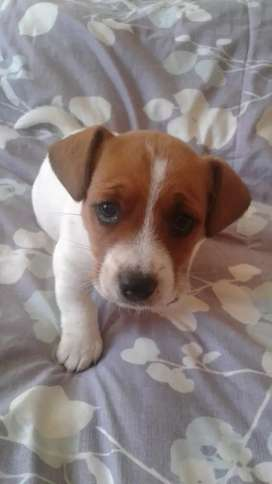 Jack russel female puppy