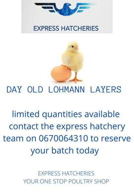 Day old lohmann layers