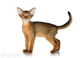 Роскошные абиссинские котята для Вас! ABYLOVE