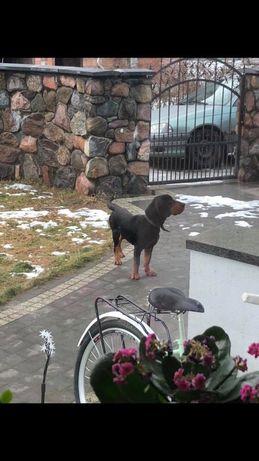 Zaginął Pies gończy polski Mostówka - image 3