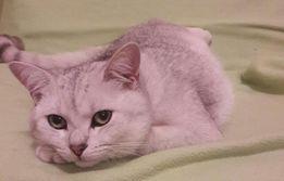 Вязка кот британец шиншилла