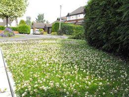 клевер белый газон для ленивых семена трава цена снижена