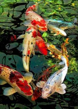 WE HOME YOUR KOI