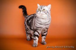 Клубный мраморный шотландский кот приглашает в гости!Вязка.