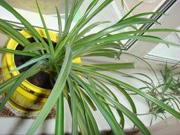 Хлорофитум хохлатый-очиститель воздуха.Возможен обмен(бартер).