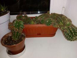Кактусы суккуленты цветы кактусята