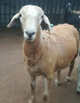 2 x Meatmaster rams for sale