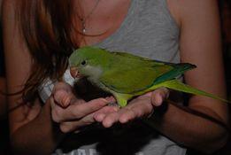 Попугай калита монах - зеленые птенцы