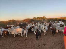 Breeding brahaman and simbras for sale