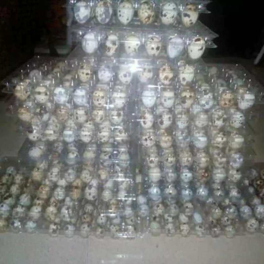Quail eggs and meat for sale 0