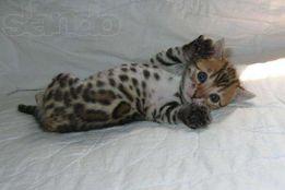 Бенгальские котята и кошки шоу класса разных окрасок -воспитанные
