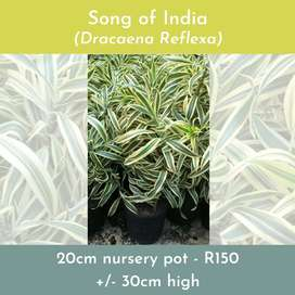Song of India Indoor plant