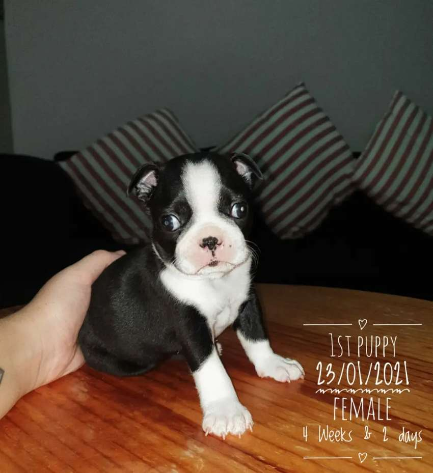 Boston Terrier puppies 0