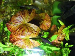 GB Lotos czerwony /zielony młoda roślina