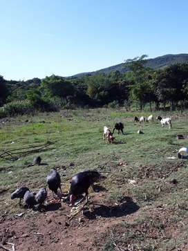 Male indigenous Goats For Sale