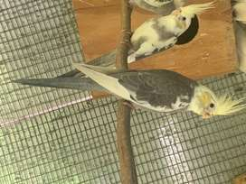 Cockatiels/ Laughing doves
