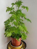 Anginka (Geranium)