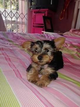 Yorshire Terrier Puppies - Yorkies