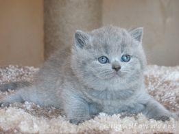 Шикарные британские котята от элитных производителей.