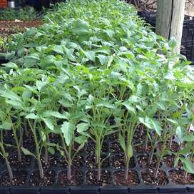 Tomato seedlings 40 cents each, even cheaper in bulk