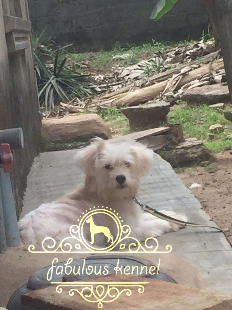Well groomed adult male Lhasa for sale at an affordable price 0