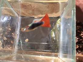 Show guppies adults male and femal for sale