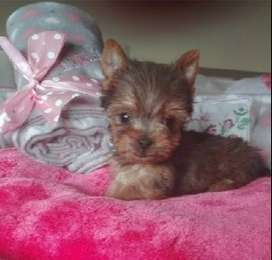 Teacup and pocketsize Yorkie puppies