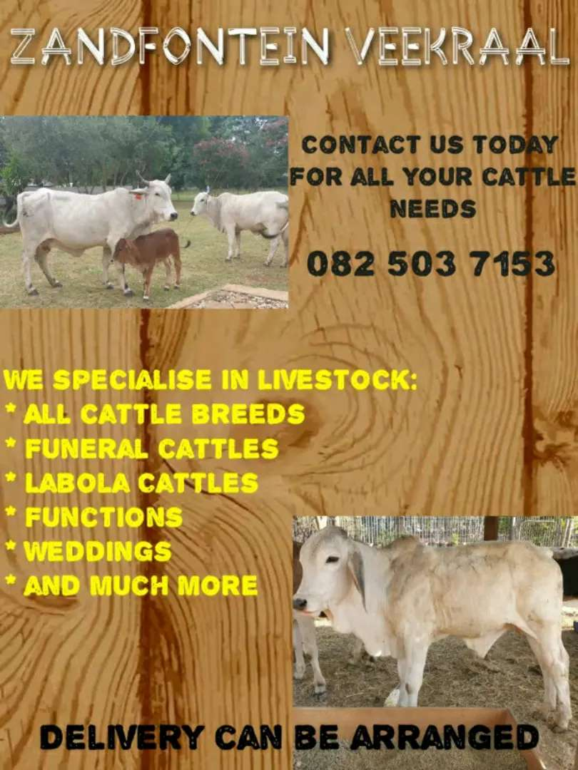 Cattles for sale 0