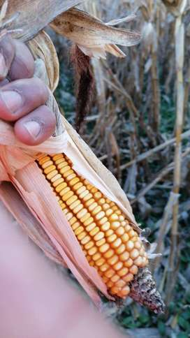 First grade Yellow maize sold in 50kg bags or loose per ton