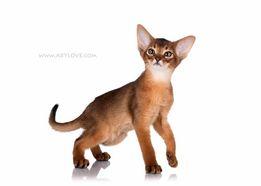 Розкішні абіссинські кошенята! ABYLOVE.
