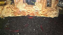Креветки черри ХL самка с икрой для развода или малёк в новый аквариум