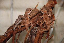 ручная ящерица агама бородатая малыши разных морф