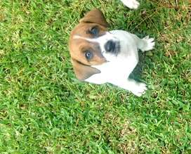 Registered Jack Russel puppies, 9 weeks old